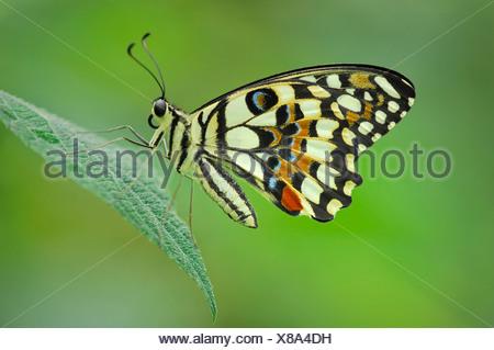 Common Lime (Papilio demoleus) - Stock Photo