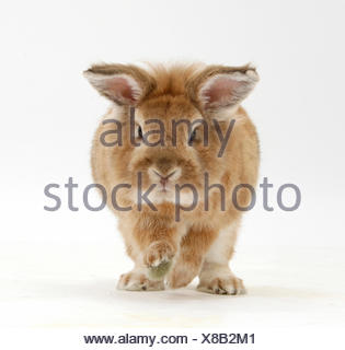 Lionhead x Lop rabbit, Tedson, running, against white background - Stock Photo