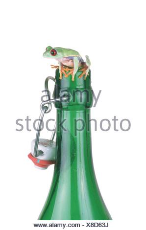 red-eyed treefrog (Agalychnis callidryas), on top of a bottle - Stock Photo