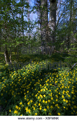 Scandinavia, Sweden, Skane, Oland, View of buttercup flower - Stock Photo