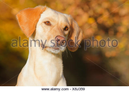 mixed breed dog (Canis lupus f. familiaris), Labrador Magyar Vizsla mixed breed dog in autumn, portrait, Germany - Stock Photo