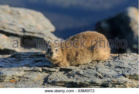 Rock Hyrax (Procavia capensis), Tsitsikamma National Park, South Africa, Africa - Stock Photo