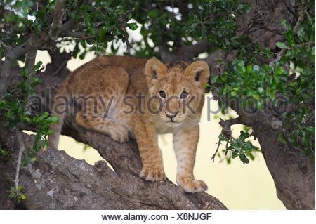 Lion (Panthera leo) cub climbing in a tree, Massai Mara, Serengeti, Rift Valley province, Kenya - Stock Photo