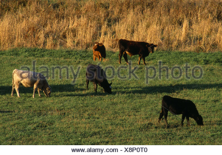 SOME ANGUS AND MISCELLANEOUS CROSSBRED FEEDER CALVES APPROX 500 600 LBS GRAZING ON FALL PASTURE IOWA - Stock Photo