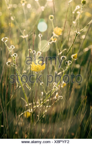 Ranunculus acris, Buttercup, Yellow flower subject, - Stock Photo