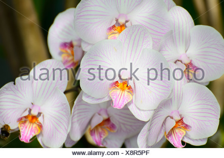 Panicle of white orchid flowers (Phalaenopsis), hybrid - Stock Photo