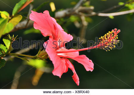 Pink hibiscus (Hibiscus clayi), Chapada Diamantina, Bahia, Brazil, South America - Stock Photo