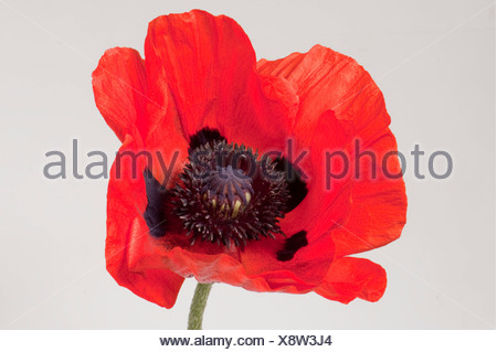 Bright red flower of an oriental poppy (Papaver orientalis) against a white background - Stock Photo