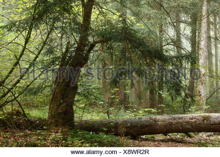 European Yew (Taxus baccata), Paterzell Yew Forest, Paterzell, Upper Bavaria, Bavaria, Germany, Europe - Stock Photo