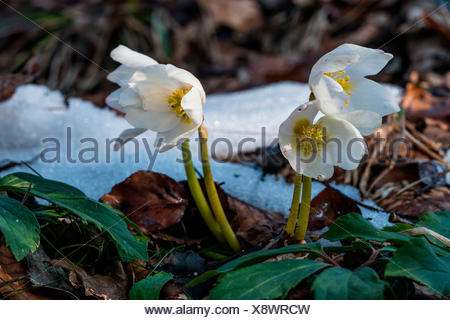 Schneerose, Christrose (Helleborus niger)  christmas rose - Stock Photo