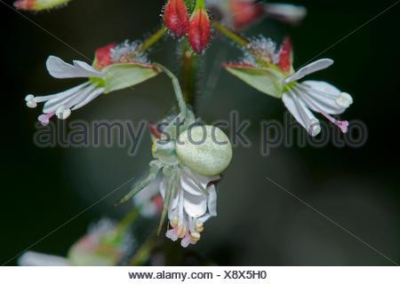 goldenrod crab spider (Misumena vatia), on a flower of Enchanter's nightshade, Germany, Bavaria, Fischen/Allgäu - Stock Photo