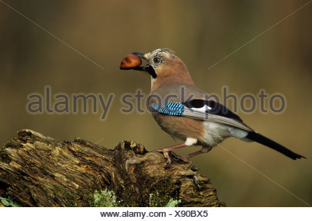 Eurasian jay with chestnut / Garrulus glandarius - Stock Photo