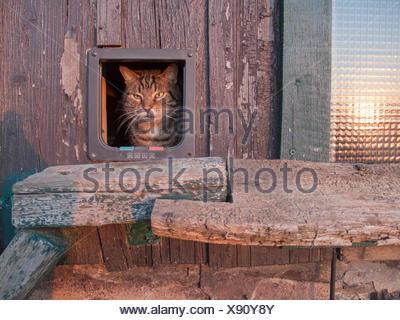 Hauskatze, Haus-Katze (Felis silvestris f. catus), schaut aus Katzentuer heraus, Deutschland | domestic cat, house cat (Felis si - Stock Photo