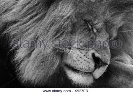 Asiatic Lion (Panthera leo persica), male, black-white portrait - Stock Photo
