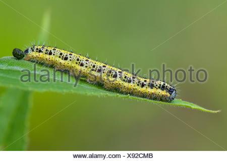 large white (Pieris brassicae), caterpillar crawling on a leaf, Germany, Rhineland-Palatinate - Stock Photo