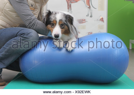 Wees, Germany, an Australian Shepherd dog trained Beastly fit with a ball in the physiotherapy practice - Stock Photo