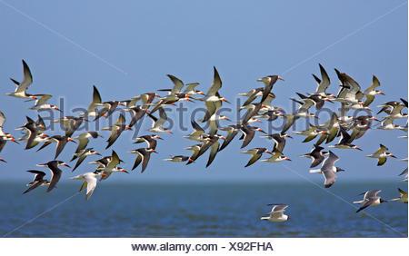 black skimmer (Rynchops niger), flying flock, USA, Florida - Stock Photo