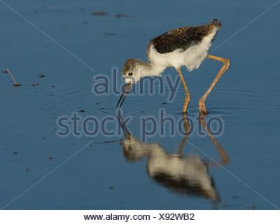 young black-winged stilt, himantopus himantopus, hungary, europe - Stock Photo