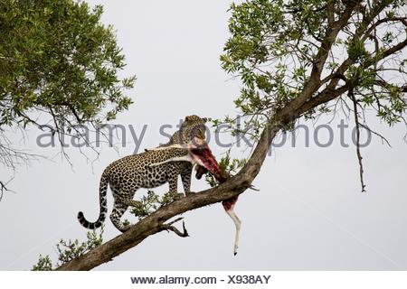 Young male adult leopard takes his kill into the tree in the Masai Mara - Stock Photo