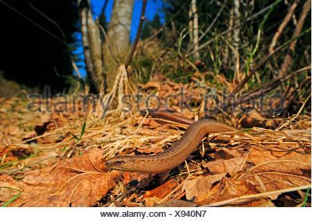 European slow worm, blindworm, slow worm (Anguis fragilis), male slow worm winding through foliage, Germany, Baden-Wuerttemberg, Black Forest - Stock Photo