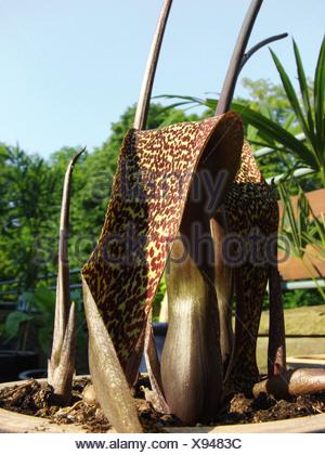 Voodoo Lily (Sauromatum venosum, Sauromatum guttatum, Typhonium venosum), blooming in a pot - Stock Photo