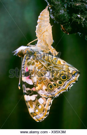 Painted lady (Cynthia cardui, Vanessa cardui, Pyrameis cardui), butterfly hatching out the pupa, Germany - Stock Photo