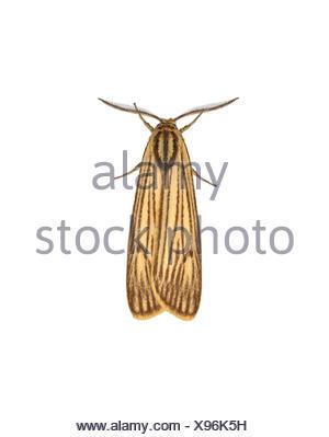 72.033 (2052) Feathered Footman - Coscinia striata - Stock Photo