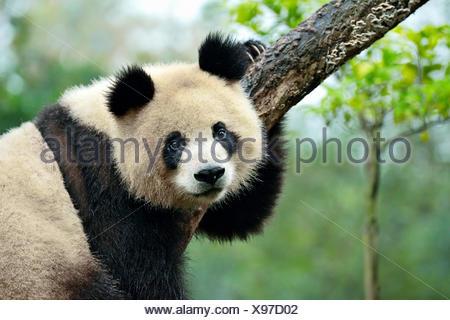 Giant Panda (Ailuropoda melanoleuca) perched on a tree, captive, Chengdu Research Base of Giant Panda Breeding or Chengdu Panda - Stock Photo