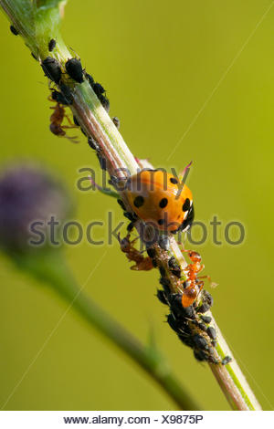 seven-spot ladybird, sevenspot ladybird, 7-spot ladybird (Coccinella septempunctata), seven-spot ladybird and yellow meadow ants with plant louses, Germany, Rhineland-Palatinate - Stock Photo