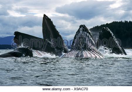 Humpback Whales feeding, Chatham Straits, Southeast. Alaska - Stock Photo