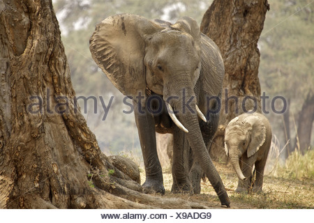 African Bush Elephant (Loxodonta Africana) mother and baby in wood, Mana Pools National Park, Zimbabwe - Stock Photo