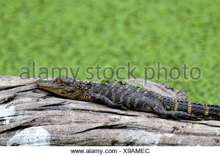 American alligator (Alligator mississippiensis), young alligator lying on a dead tree trunk in the water, USA, Florida - Stock Photo