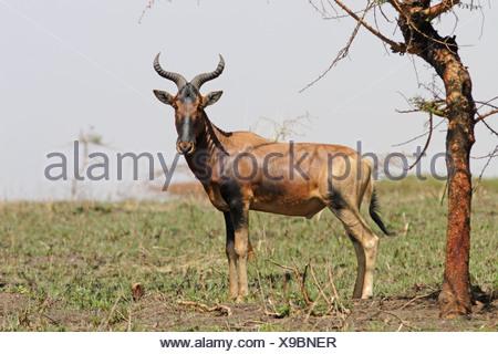 hartebeest hartebeests africa african ethiopia ethiopian subspecies herbivore herbivores mammal mammals antelope antelopes - Stock Photo