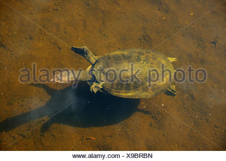 USA, Florida, Palm Beach County, Delray Beach, Wakodahatchee, Wetlands, turtle - Stock Photo