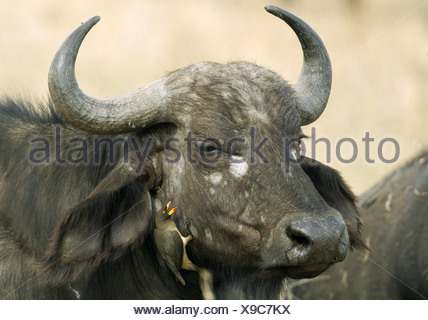 zoology / animals, mammal / mammalian, Bovidae, African Buffalo (Syncerus caffer), detail: head, bird (Yellow-billed Oxpecker) sitting at cheek, Masai Mara, Kenya, distribution: Africa, Additional-Rights-Clearance-Info-Not-Available - Stock Photo