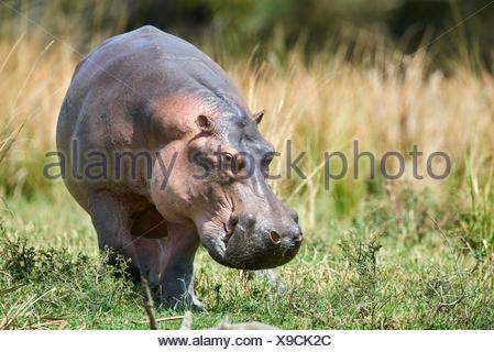 Hippopotamus grazing (Hippopotamus amphibius) Murchisson Falls National Park, Uganda. - Stock Photo