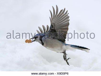 Blue Jay, Cyanocitta cristata, in flight, in Saskatoon, Saskatchewan, Canada - Stock Photo