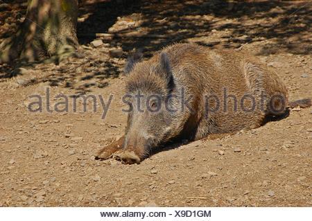 boar sunbathing - Stock Photo
