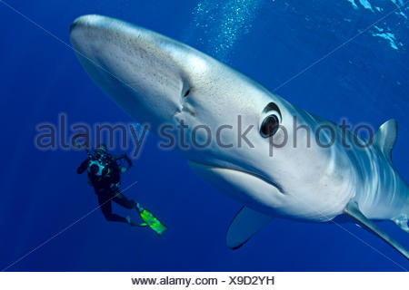 Great Blue shark (Prionace glauca) close up with scuba diver photographer behind, Pico Island, Azores, Portugal, Atlantic Ocean - Stock Photo