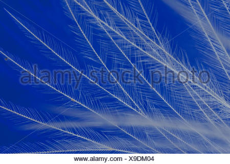 domestic fowl (Gallus gallus f. domestica), feather of a fowl - Stock Photo