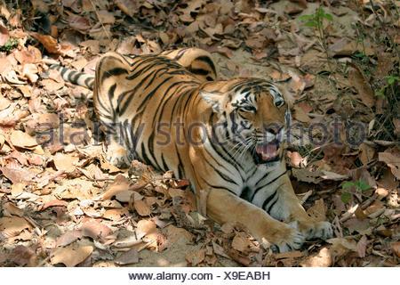 Female tiger, Panthera tigris, Kanha National Park, Madhya Pradesh, India - Stock Photo