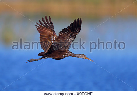 limpkin (Aramus guarauna), flying , USA, Florida - Stock Photo