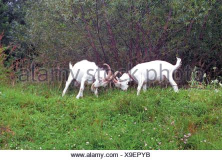 Zwei kaempfende Ziegenboecke - Stock Photo