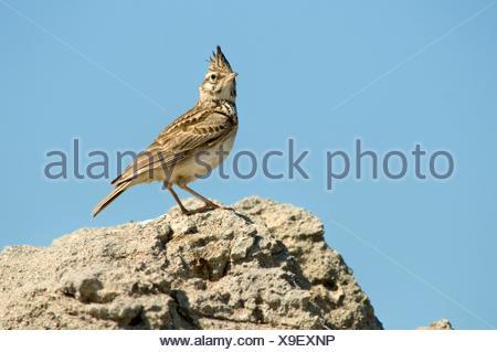Crested Lark Galerida cristata, Crete - Stock Photo
