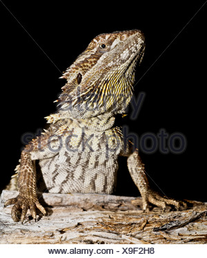 An eastern bearded dragon sitting alert on log with black background. - Stock Photo