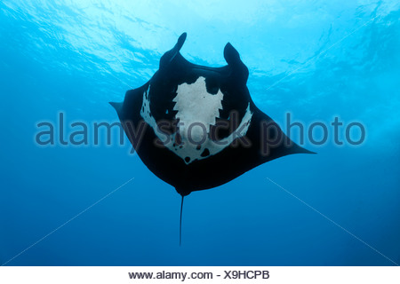 Giant oceanic manta ray (Manta birostris) seen from below, San Benedicto Island, near Socorro, Revillagigedo Islands - Stock Photo