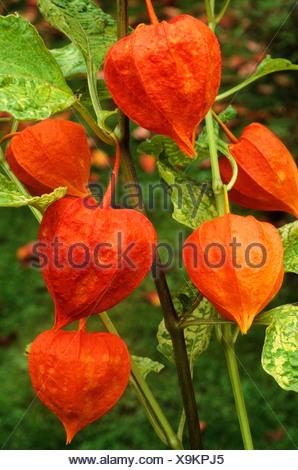 Physalis alkekengi franchetii 'Variegata' Chinese Lantern lanterns orange fruit fruits autumn autumnal fall garden plant plants - Stock Photo