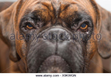 Young Boxer, dog, looking bored, portrait - Stock Photo