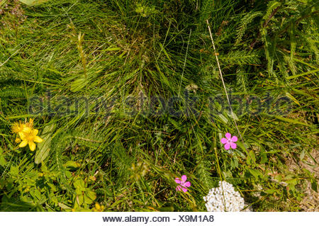 Saxifraga aizoides,, Colomers Lakes in the catalan Pyrenees part of the Parc Nacional d'Aigüestortes i Estany de Sant Maurici - Stock Photo