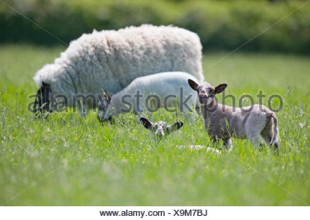 Sheep and lambs grazing in sunny green spring field - Stock Photo